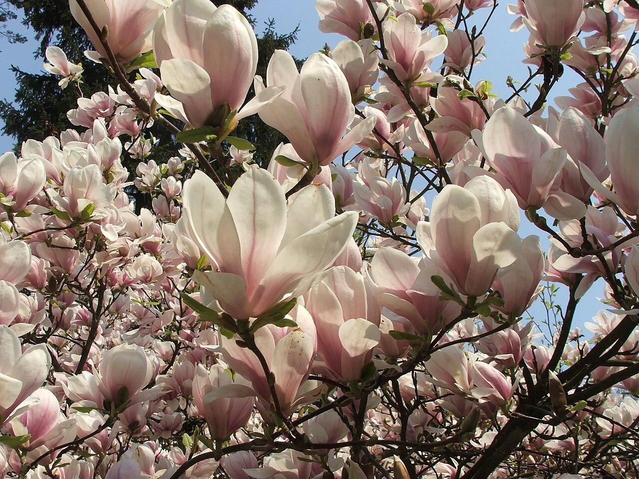 file magnolia x soulangeana 2 piotr kuczynski jpg. Black Bedroom Furniture Sets. Home Design Ideas