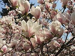 Magnolia x soulangeana 2 (Piotr Kuczynski).jpg