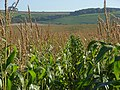 Maize, Ham - geograph.org.uk - 1014738.jpg