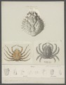 Maja squinado - - Print - Iconographia Zoologica - Special Collections University of Amsterdam - UBAINV0274 095 06 0002.tif
