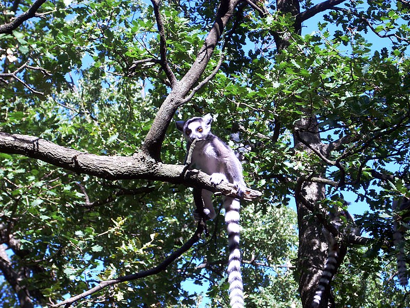 A Lemur Catta, in the zoo of Peaugres, Ardèche, France.