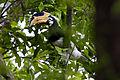 Malabar Pied Hornbill (Female) by N.A. Nazeer.jpg