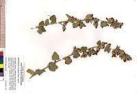 Malacothamnus aboriginum -10603 dupl. UC1561062 (5419808737).jpg