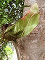 Malay Padouk - Fruit.jpg