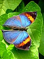 Malaysia - Penang Butterfly Gardens - 26 (5208368737).jpg