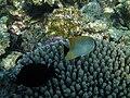 Maldives Chevron Butterflyfish Chaetodon trifascialis 227.jpg