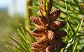 Male Cones (3618723565).jpg