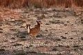 Male Lesser Prairie Chicken, Yoakum County by Trisha Williams (25023439261).jpg
