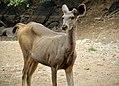 Male Sambar Deer growing Antlers.jpg