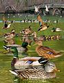 Mallard from The Crossley ID Guide Eastern Birds.jpg