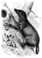 Mampalon (Cynogale Bennettii).png