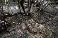 Mangrove Foundations.jpg