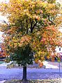 Maple Tree in FALL.jpg