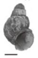Margarya francheti shell.png