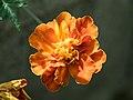 Marigold (13389).jpg