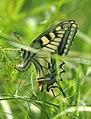Mariposa desovando - butterfly laying eggs (249923443).jpg