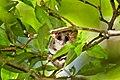 Marmosops incanus 2.jpg