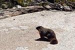 Marmot - Yosemite National Park (14120023307).jpg
