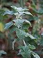 Marrubium vulgare Szanta zwyczajna 2017-10-15 02.jpg