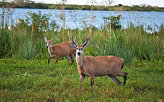 https://upload.wikimedia.org/wikipedia/commons/thumb/a/ae/Marsh_Deer%2C_Esteros_Del_Ibera%2C_Corrientes%2C_Argentina%2C_3rd._Jan._2011_-_Flickr_-_PhillipC_%281%29.jpg/330px-Marsh_Deer%2C_Esteros_Del_Ibera%2C_Corrientes%2C_Argentina%2C_3rd._Jan._2011_-_Flickr_-_PhillipC_%281%29.jpg