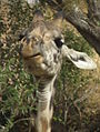 Masai Giraffe Giraffa camelopardalis tippelskirchi in Tanzania 0785 cropped Nevit.jpg