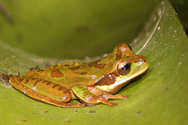 Masked tree frog Arenal.JPG