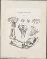 Mastodon angustidens - skeletdelen en kiezen - 1700-1880 - Print - Iconographia Zoologica - Special Collections University of Amsterdam - UBA01 IZ22000155.tif