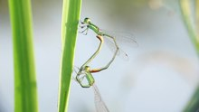 Tập tin:Mating dragonflies.webm