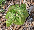 Mayapple Podophyllum peltatum Top.JPG