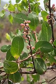 Maytenus senegalensis MS 3818