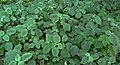 Medicinal plant (Achyranthes aspera) Uttareni in Andhra University campus.jpg