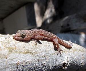 Mediterranean house gecko - Image: Mediterranean house gecko