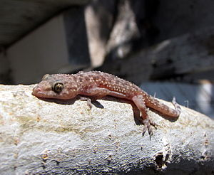 Hemidactylus - Mediterranean house gecko, Hemidactylus turcicus