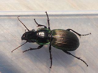 <i>Megadromus antarcticus</i> Species of beetle