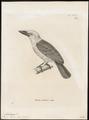 Megalaima henrici - 1700-1880 - Print - Iconographia Zoologica - Special Collections University of Amsterdam - UBA01 IZ18800042.tif