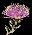 Melaleuca tuberculata var. macrophylla - Flickr - Kevin Thiele.jpg