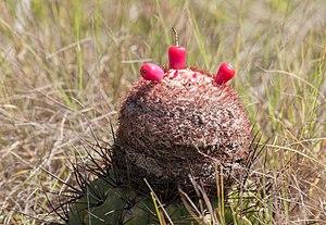 Melocactus - A Melocactus plant in fruit.