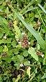 Melochia corchorifolia-Chocolate Weed, Ketam.jpeg