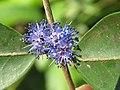 Memecylon umbellatum flowers at Peravoor (44).jpg