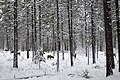 Metolius area elk in snow, Oregon.jpg