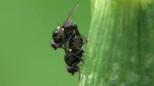 File:Metopomyza sp in copula 2012-05-04.ogv