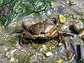 Mevagissey Krabbe 02.jpg