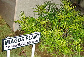 Miagao - A picture of miagos plant at the front of Miagao Municipal Hall. Miagao derived its name from this plant.