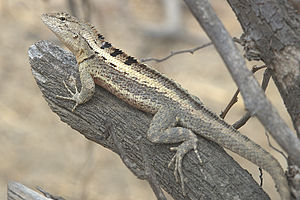 Microlophus - Microlophus occipitalis, Peru