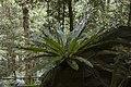 Minnamurra Rainforest - panoramio (18).jpg