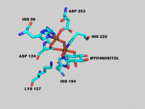 Inositol oxygenase - The active site of the mouse MIOX enzyme highlighting the di-iron active site along with the coordinated amino acids. The Fe atom binds to the oxygens of the C1 and C6 of myo-inositol. Lys 127 helps to promote the abstraction of the hydrogen atom from the C1 carbon.