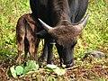 Mithun, Arunachal.jpg