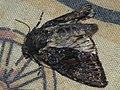 Mniotype ?adusta - Dark brocade - Полевая совка опаленная (27257272628).jpg