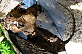 Moggessa di Quá mummified cat 2008 1004 04.JPG