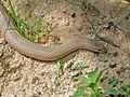 Mole Snake (Pseudaspis cana) (6868524868).jpg